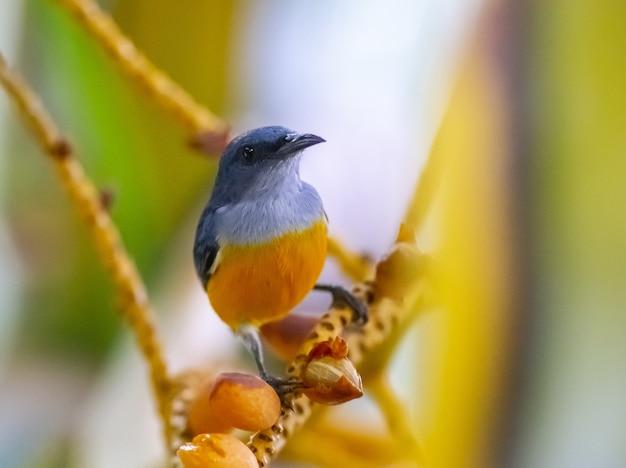 木の枝にオレンジ腹のフラワーペッカー