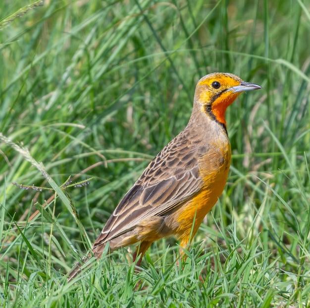An orange bird standing on the grass