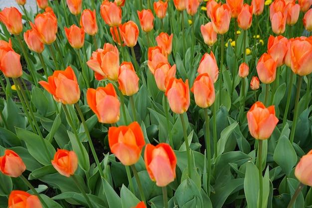 꽃 침대, 평면도에서 오렌지 피 튤립.