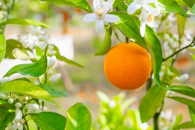 An orange on a branch, a fresh ripe large fruit on an orange tree among the flowers in the garden. concept photo for advertising juice and vitamin c.