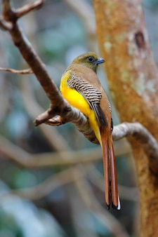 Orange-breasted trogon harpactes oreskios beautiful birds of thailand