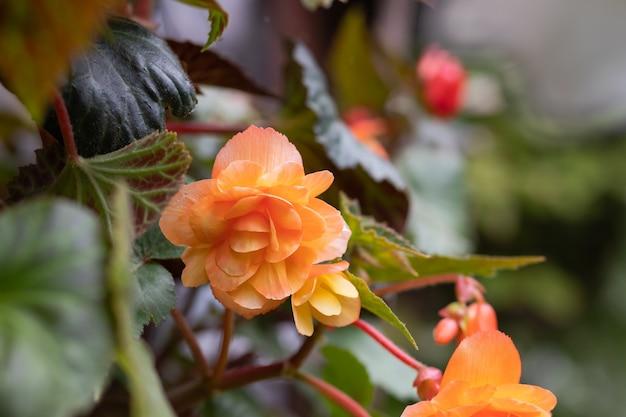 결절성 베고니아의 주황색 밝은 꽃