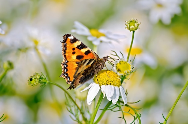 Orange butterfly feeds on nectar from a flower daisies