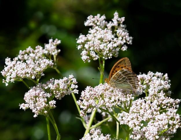 白い花の上に座っているオレンジ色の蝶「フィールドマザーオブパール」