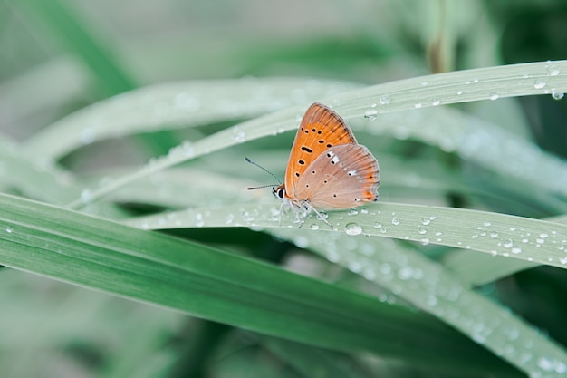 An orange butterfly sits on grass covered with morning dew, insects, wildlife, spring.