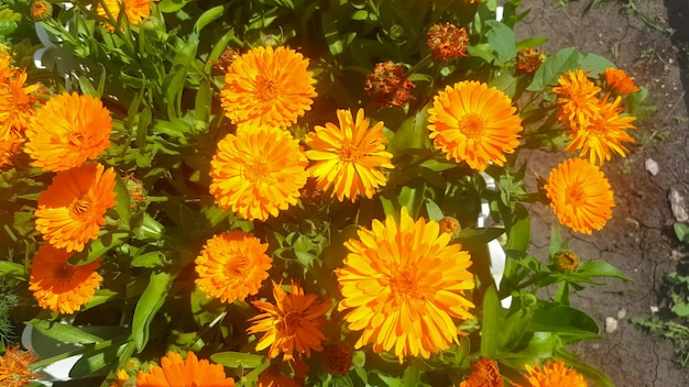 푸른 잔디의 배경에 대해 화창한 날에 가벼운 바람에 오렌지 금송화 꽃. 확대.