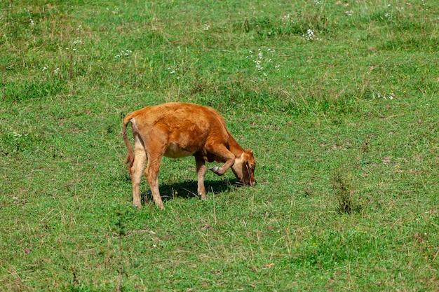목장에서 신선한 녹색 잔디를 방목하는 오렌지 송아지. 동물.