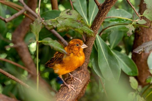 Оранжевая канарейка сидит на ветке дерева между зелеными листьями