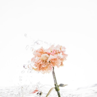 Orange carnation falling into water