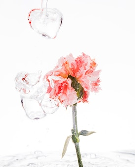 Orange carnation falling into water
