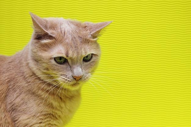 노란색 배경에 고립 된 주황색 고양이
