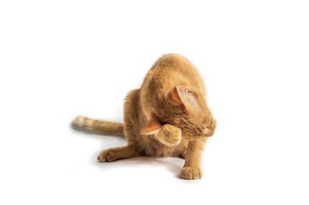 격리 된 흰색 배경에 주황색 고양이 엄마 그림
