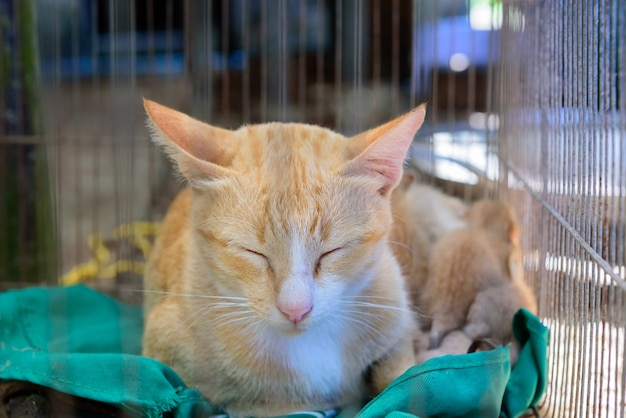Orange cat sleep with kitten in the cage