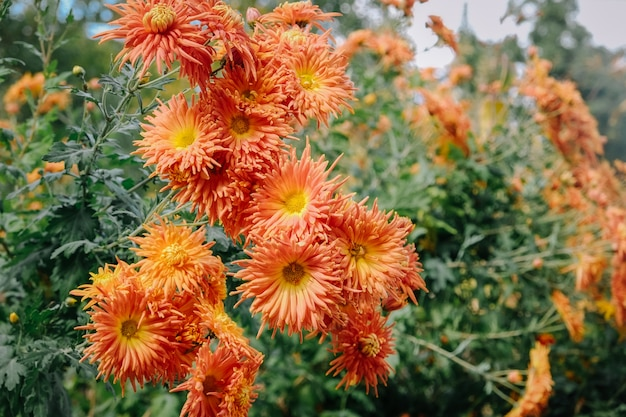 Orange chrysanthemum flowers blooming in a garden