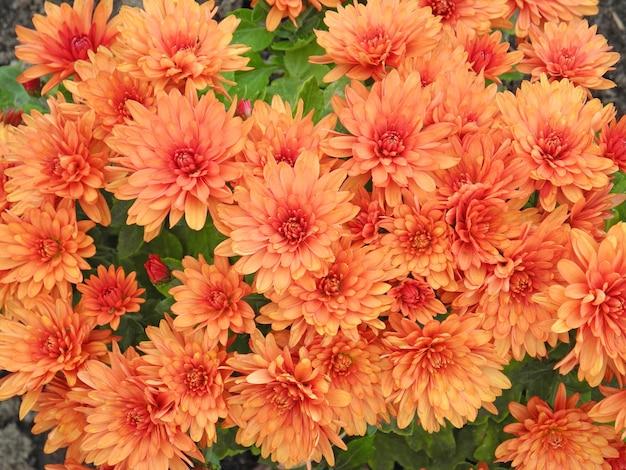 オレンジ色の菊の背景、ママまたは菊とも呼ばれます