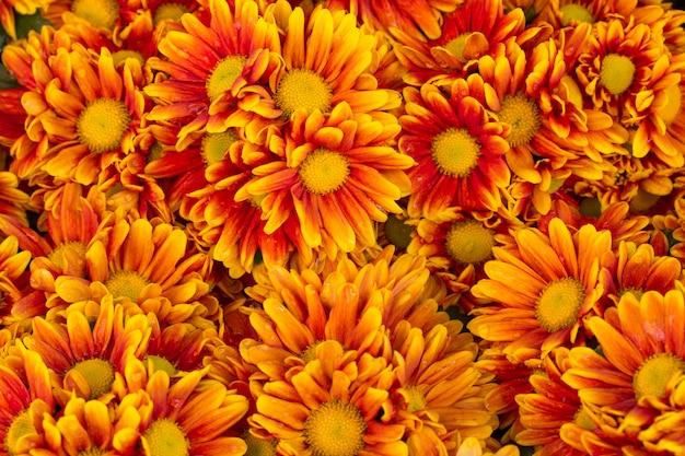 Orange chrysanthemums flower background