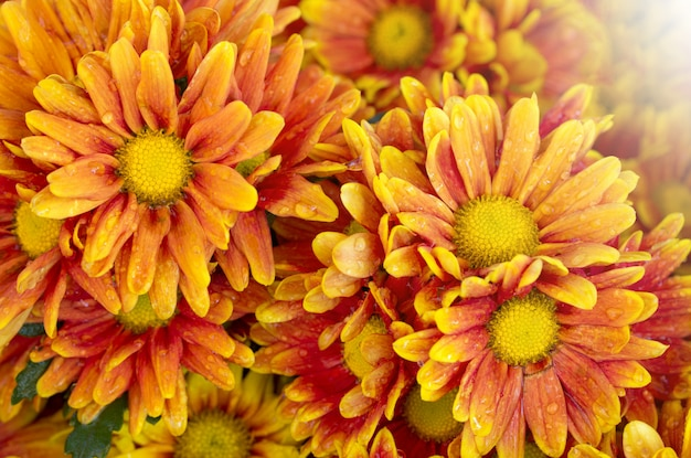 Orange chrysanthemums flower in the garden