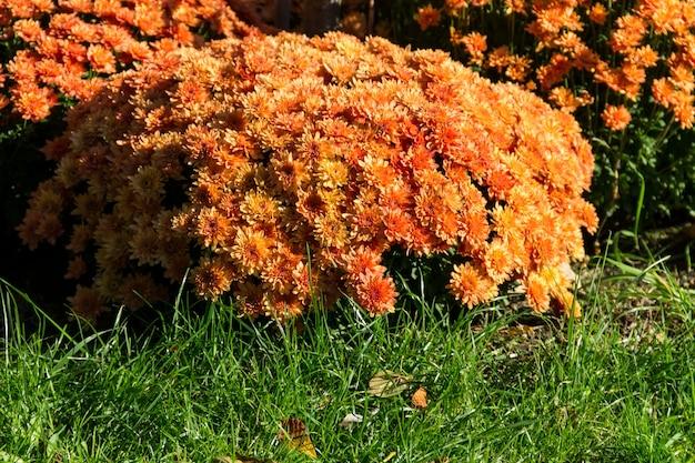 秋の庭の花壇にオレンジ色の菊