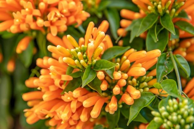 Оранжевый альпинист. деталь оранжевого цветка с зелеными листьями