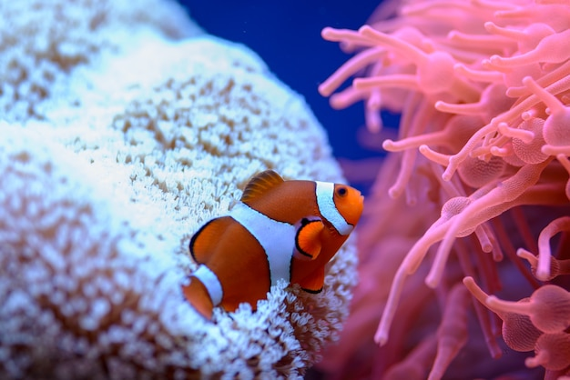 The orange clownfish (amphiprion percula), swims among the corals in a marine aquarium.