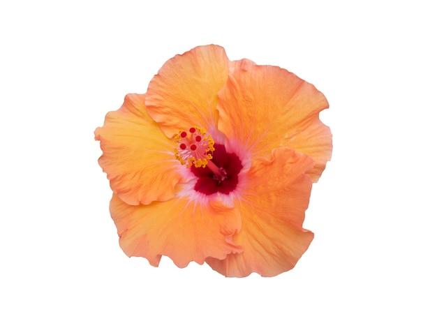 오려낸 오솔길, 아름다운 열대 꽃이 있는 흰색 배경에 격리된 주황색 꽃 히비스커스 꽃