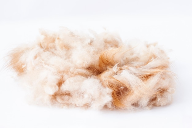 The orange-colored pomeranian's trimmed hair is lying in a heap.