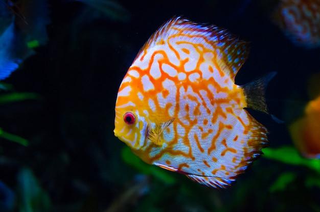 Оранжевая рыба кораллового рифа