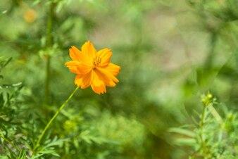 緑の背景とオレンジのコスモスの花