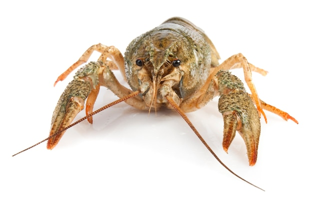 Orange crayfish on a white surface for your design