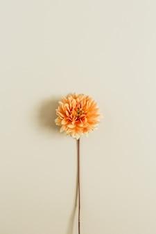 ベージュの背景にオレンジ色のダリアの花。フラットレイ、上面図。
