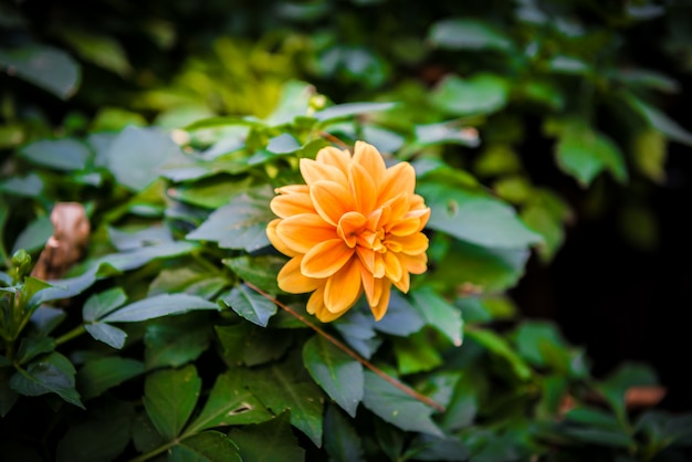 Оранжевый цветок георгина