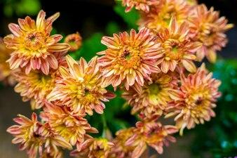 オレンジDendranthema、オレンジの小さな花