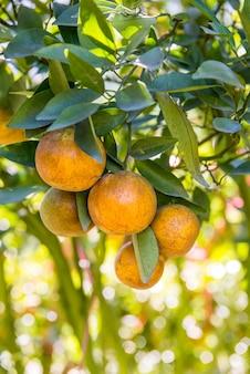 オレンジ、ジュース用のダイエットフレッシュフルーツ