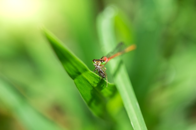 Orange dragonfly follow leaves are eating small insects.