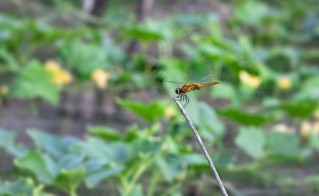 Оранжевая стрекоза отдыхает на ветке мертвого дерева в поле зимних дынь