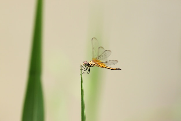 Orange dragonfly on top grass.