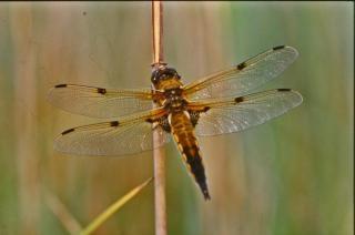 Orange dragonfly, yellow