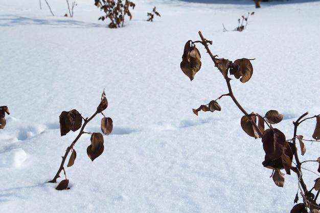 雪を背景にバラの枝にオレンジ色の乾燥した葉。冬の乾燥したバラの茂み