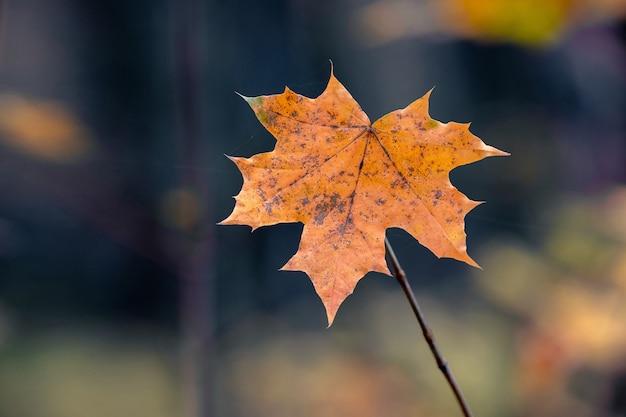 暗い背景の森のオレンジ色の乾燥したカエデの葉