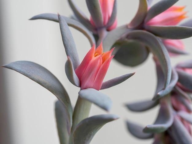 オレンジ色のエケベリア多肉植物の花。咲く多肉植物。セレクティブフォーカス