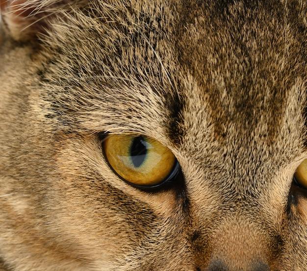 Оранжевый глаз шотландский котенок с прямыми ушами, макро