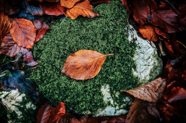Orange faded leaf surrounded by green moss in the forest in autumn