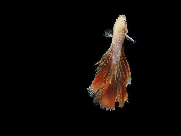 Orange fighting fish on black background
