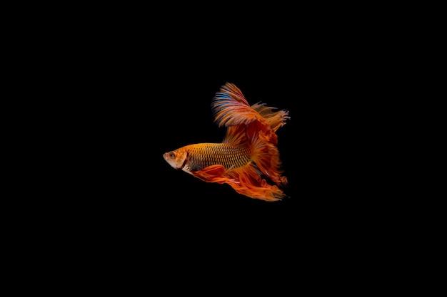 Orange fish isolated on black background