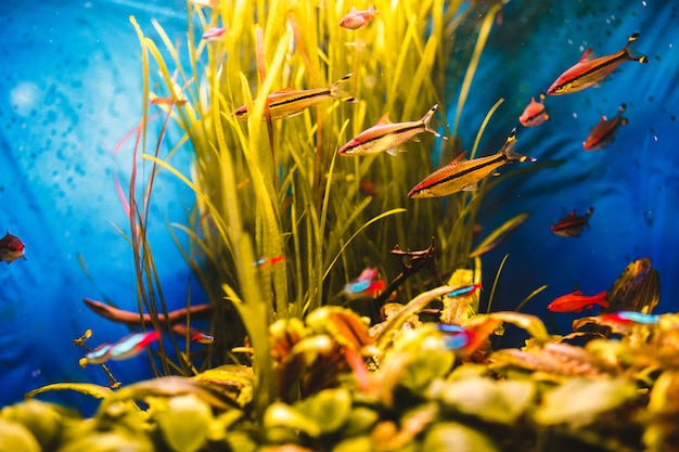 Orange fish swim in a blue aquarium