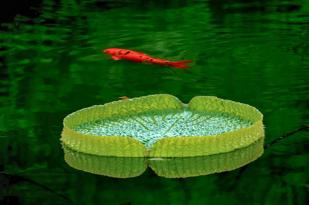 Orange fish swimming