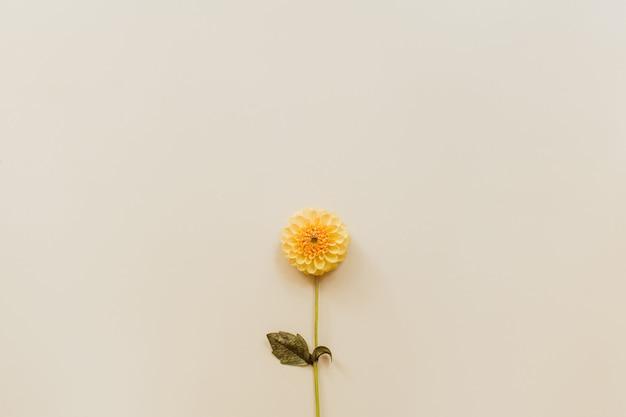 Оранжевый цветок георгина на бежевом пастельном фоне. минимальная цветочная композиция. плоская планировка, вид сверху, копия пространства. лето, осень концепция.