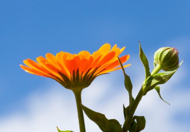 Оранжевый цветок календулы медицинских и закрытый бутон на фоне голубого неба. фото крупным планом весной. небольшая глубина резкости
