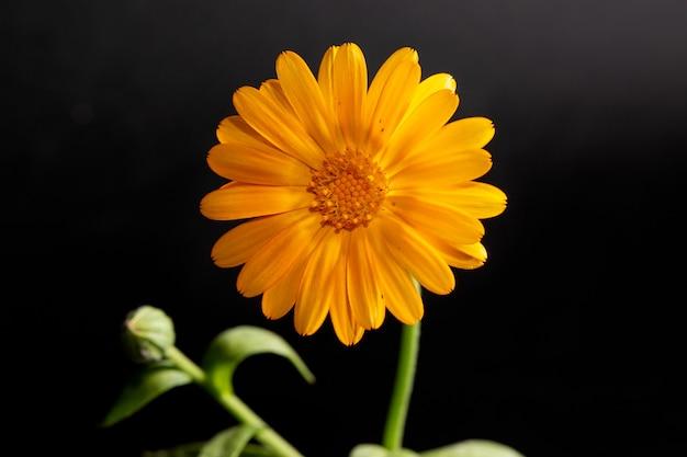 검정색 배경에 약국 금송화의 주황색 꽃. 포스터.
