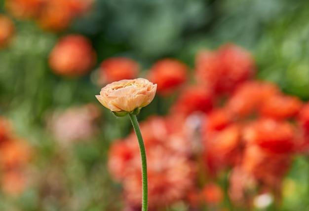 Оранжевый цветок с размытым фоном цветов